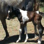 Grey Pinto Foal