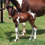 Homozygous Filly